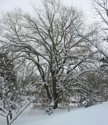 willow snow